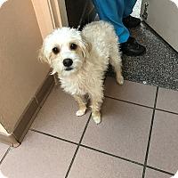 Adopt A Pet :: Saddy - Las Vegas, NV