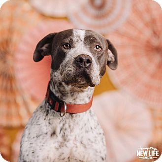 Pit Bull Terrier/Pointer Mix Dog for adoption in Portland, Oregon - Missy