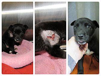 Labrador Retriever Mix Puppy for adoption in Henderson, North Carolina - Larry & Moe