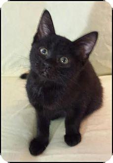 Domestic Shorthair Kitten for adoption in Orlando, Florida - Marcela
