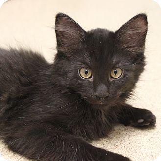 Domestic Mediumhair Kitten for adoption in Naperville, Illinois - Scruffy