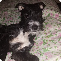 Adopt A Pet :: Lily (COURTESY POST) - Baltimore, MD