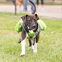 Adopt A Pet :: Domino - Santa Fe, TX