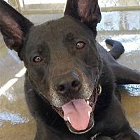Adopt A Pet :: Hodor - Ventura, CA