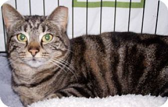 Domestic Shorthair Cat for adoption in Sistersville, West Virginia - Brie