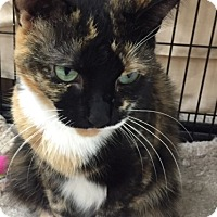 Domestic Shorthair Cat for adoption in Bear, Delaware - Paisley