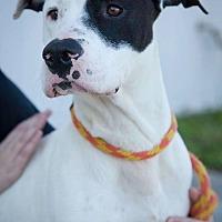 American Bulldog/Great Dane Mix Dog for adoption in Bonaire, Georgia - Renegade