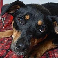 Adopt A Pet :: MOXIE - Ukiah, CA