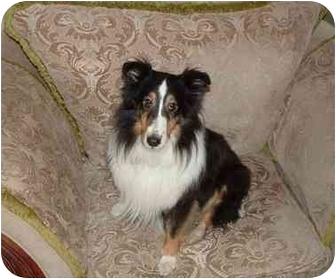 Sheltie, Shetland Sheepdog Dog for adoption in San Diego, California - Cassie