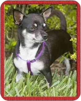 Chihuahua Dog for adoption in North Palm Beach, Florida - Needles
