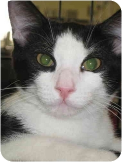 Domestic Shorthair Cat for adoption in Little Falls, New Jersey - Crystal (KC)