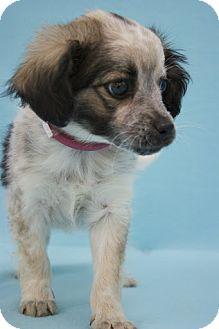 Australian Shepherd/Spaniel (Unknown Type) Mix Puppy for adoption in Broomfield, Colorado - Peach