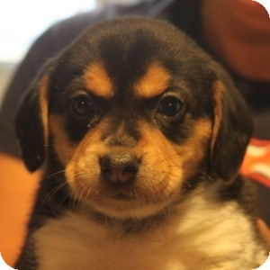 Beagle/Terrier (Unknown Type, Medium) Mix Puppy for adoption in Naperville, Illinois - Scooby