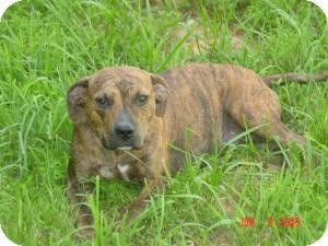 Plott Hound Mix Dog for adoption in Media, Pennsylvania - Nikki