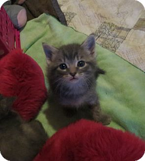 Domestic Shorthair Kitten for adoption in Geneseo, Illinois - Skipbo