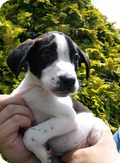 Beagle/Jack Russell Terrier Mix Puppy for adoption in South Jersey, New Jersey - Lila