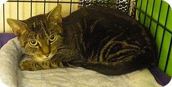 Domestic Shorthair Cat for adoption in Forest Hills, New York - Ms. Marble