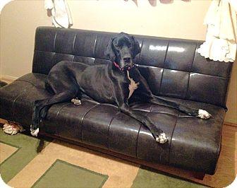 Great Dane Dog for adoption in Austin, Texas - Shula