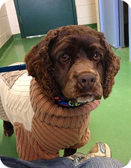 Cocker Spaniel Mix Dog for adoption in South Haven, Michigan - Coco