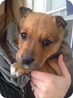 Staffordshire Bull Terrier/German Shepherd Dog Mix Puppy for adoption in Saskatoon, Saskatchewan - Lilo
