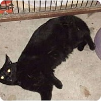 Domestic Shorthair Cat for adoption in Winston-Salem, North Carolina - Macie