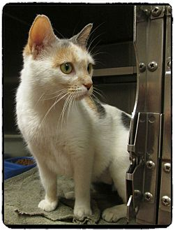 Domestic Shorthair Cat for adoption in Marietta, Georgia - PURRNELOPY