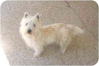 Westie, West Highland White Terrier Dog for adoption in Baton Rouge, Louisiana - Ethan