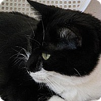 Domestic Shorthair Cat for adoption in Spring Valley, California - Lady