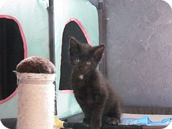 Domestic Shorthair Kitten for adoption in Des Moines, Iowa - Shadow