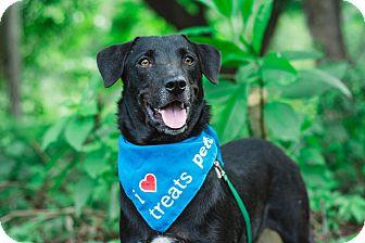 Labrador Retriever/Terrier (Unknown Type, Small) Mix Puppy for adoption in Victoria, British Columbia - River