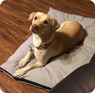 Labrador Retriever/Beagle Mix Dog for adoption in Kirby, Texas - Calvin