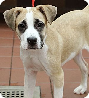 Boxer Mix Dog for adoption in Port Washington, New York - Stella