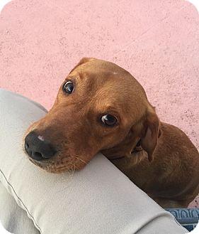Labrador Retriever/Golden Retriever Mix Dog for adoption in Miami, Florida - Toto
