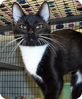 Domestic Longhair Kitten for adoption in Grants Pass, Oregon - Sofia