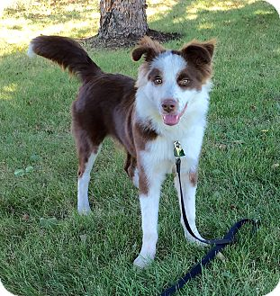 Border Collie Mix Puppy for adoption in WAterford, Wisconsin - Cooper