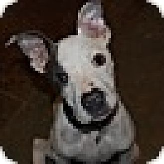 Great Dane/Boxer Mix Puppy for adoption in Fishkill, New York - Sterling