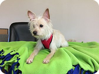 Terrier (Unknown Type, Small)/Wirehaired Fox Terrier Mix Dog for adoption in Mechanicsburg, Ohio - Bentley