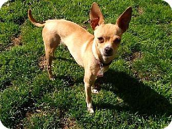 Chihuahua Dog for adoption in Buffalo, New York - Sabrina