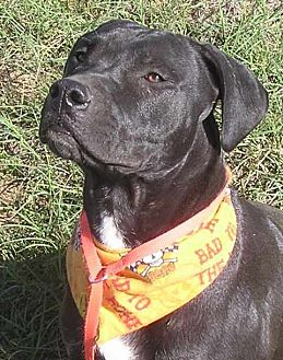 American Pit Bull Terrier/Labrador Retriever Mix Dog for adoption in Cross Roads, Texas - Banjo