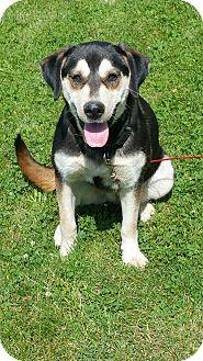 Husky/Labrador Retriever Mix Puppy for adoption in Quincy, Indiana - Maxine