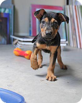 Australian Cattle Dog Mix Puppy for adoption in Seattle, Washington - Snuggles