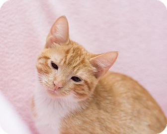 Domestic Shorthair Kitten for adoption in Fountain Hills, Arizona - Stormy II