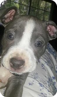 Pit Bull Terrier Mix Puppy for adoption in Framingham, Massachusetts - Laos