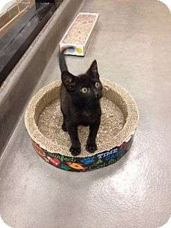 Domestic Shorthair Kitten for adoption in San Leandro, California - Zorro