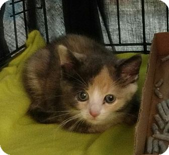 Calico Kitten for adoption in Randolph, New Jersey - Willow