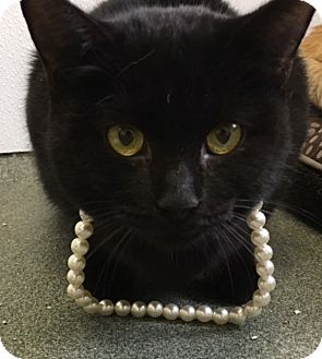 Domestic Shorthair Cat for adoption in Greensboro, North Carolina - Lesley
