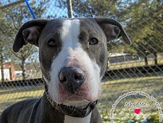 Pit Bull Terrier Mix Dog for adoption in Sidney, Ohio - Diamond