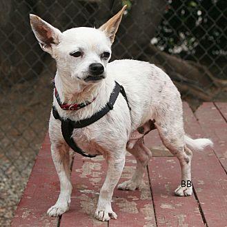 Chihuahua Mix Dog for adoption in Santa Barbara, California - Eugene