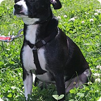 Boston Terrier Mix Dog for adoption in Waldorf, Maryland - WInston