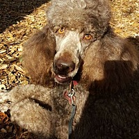 Poodle (Standard) Dog for adoption in Alpharetta, Georgia - Romeo